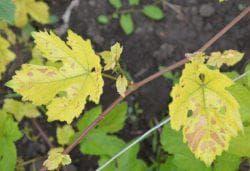инфекционный хлороз у виноградника