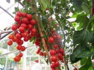 подкормка помидор золой в теплице из поликарбоната