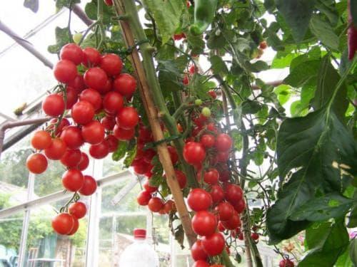 Зола как удобрение для томатов, огурцов, перца. Подкормка томатов золой