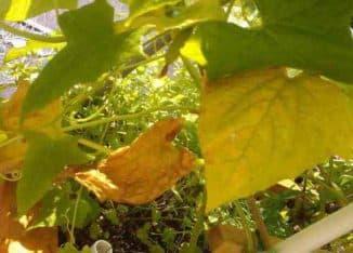 виноград желтеет лист причина