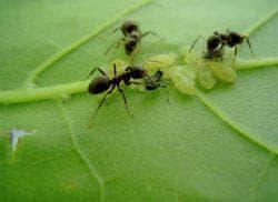 муравьи на чесноке