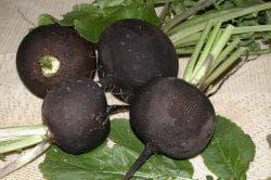 чёрная круглая редька