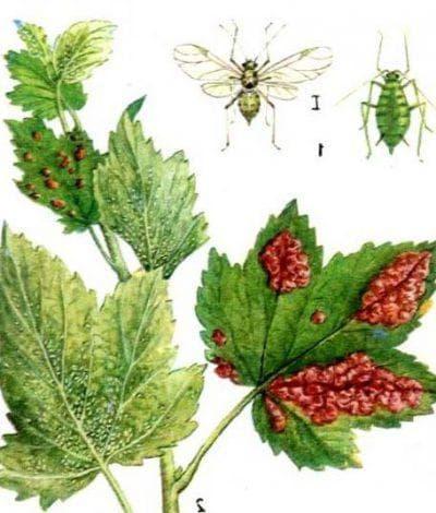 листовая галловая