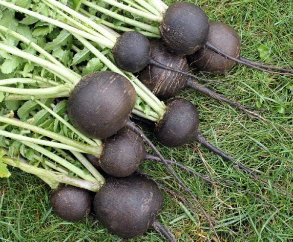 Когда сажать редьку в открытый грунт семенами и надо ли замачивать: сроки посадки, уход, чем обработать от вредителей