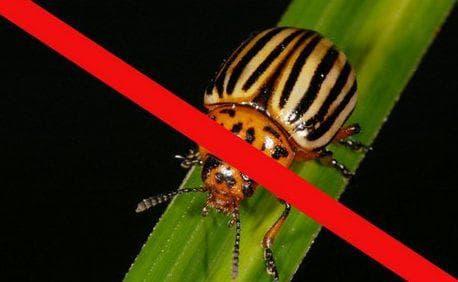 Народные методы борьбы с колорадским жуком и его личинками