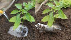 полив перца в открытом грунте