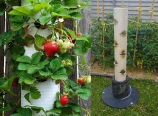 как вырастить клубнику в трубе вертикально