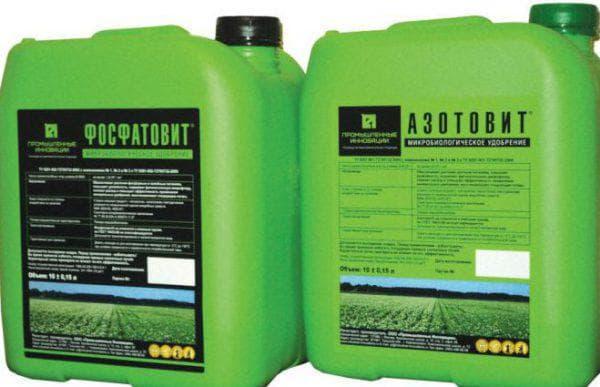 азотофит