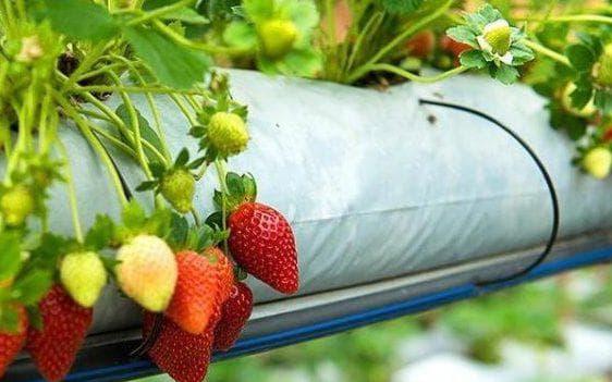 Выращивание клубники в трубах ПВХ горизонтально фото пошаговая инструкция