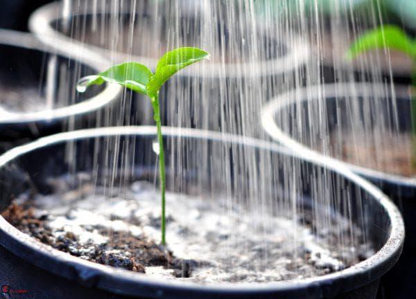 Как поливать баклажаны в теплице