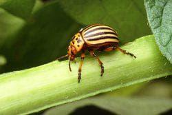 как разводить танрек от колорадского жука