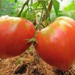 Сорт томатов Розовый Мед: характеристика и описание