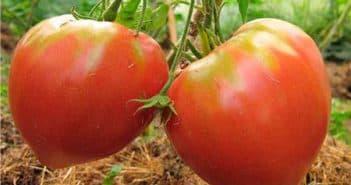 томаты розовый мед характеристика