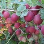 Как посадить и вырастить крыжовник сорта Колобок