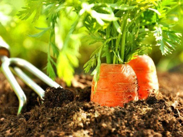 процесс удобрение моркови
