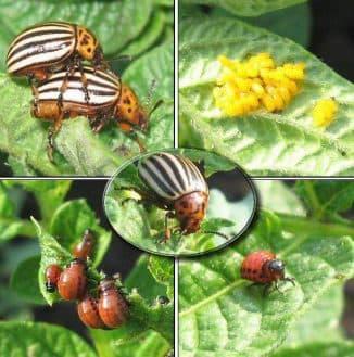 уничтожение колорадского жука