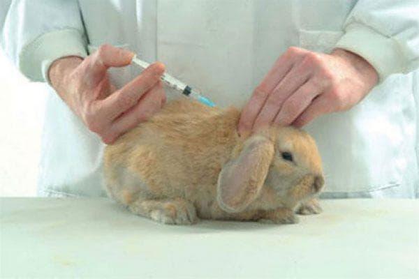 Дефицит кальция у кролика