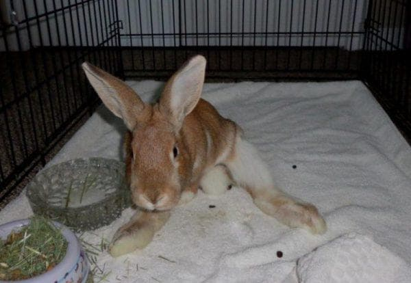 энцефалозооноз у кроликов