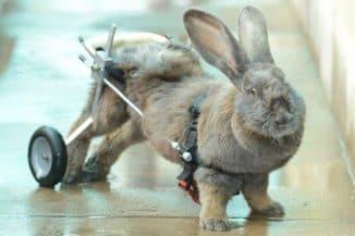 у кролика отказали задние лапы причины