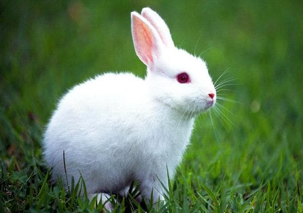 красные глаза у кролика
