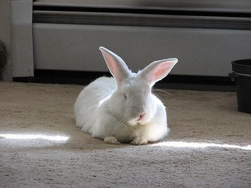 Основные симптомы болезней глаз у кроликов и эффективные методы лечения