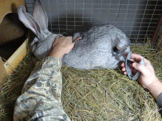 уколы кроликов вакциной