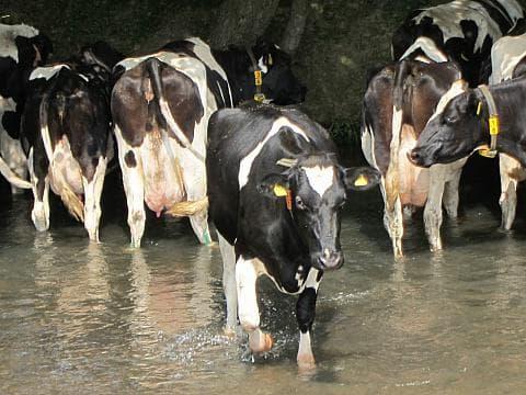 Голландская корова