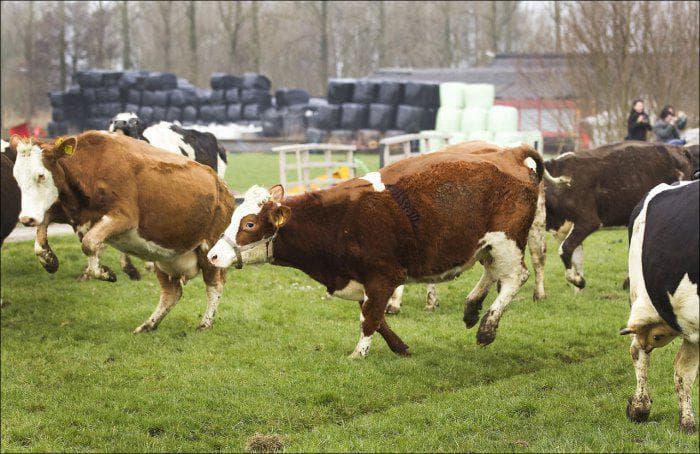 Молочные породы коров самая молочная порода
