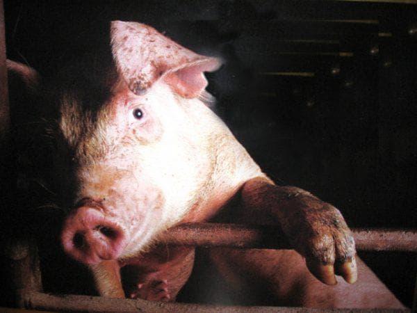 подростковая рожа свиней в картинках