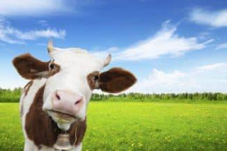 лечение коров
