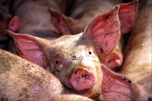 хроническая рожа свиней в картинках