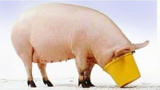 кормление свиней из ведра