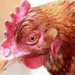 Симптомы и способы лечения микоплазмоза у кур