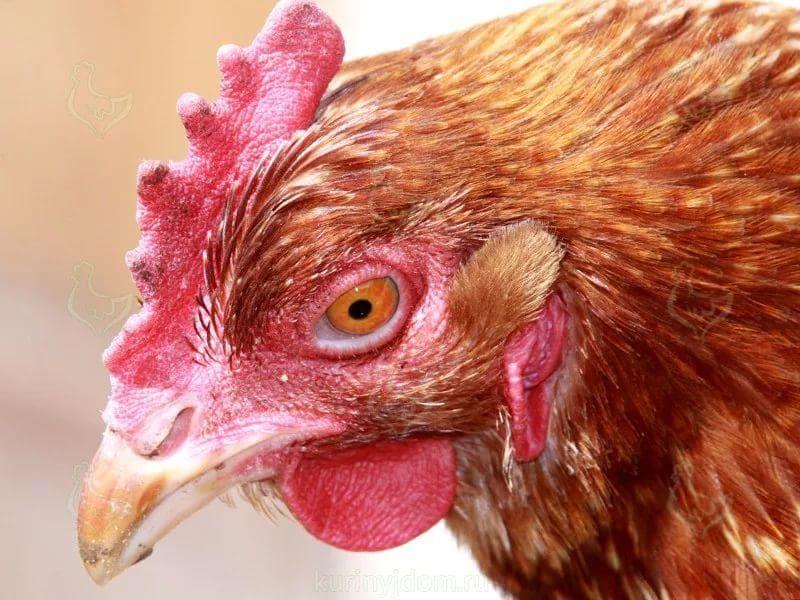 Микоплазмоз птиц: симптомы и лечение у кур в домашних условиях