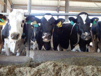 правильное кормление коров