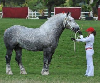 лошадь породы першерон имеет большие габариты