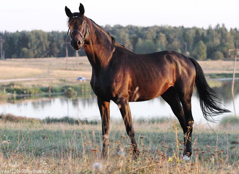 Тракененская лошадь - это... Что такое Тракененская лошадь?