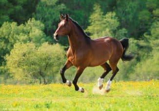 как выглядит лошадь Голштинской породы