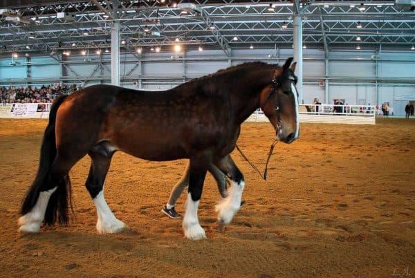 порода лошадей тяжеловозов Владимирская