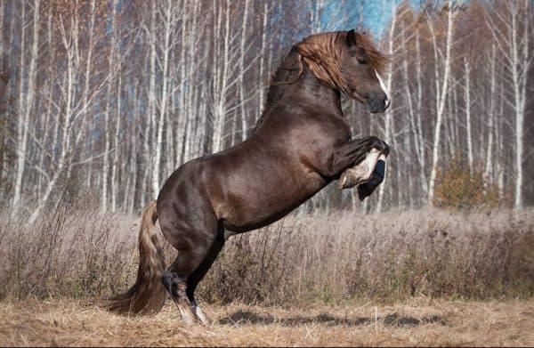 русская тяжеловозная лошадь