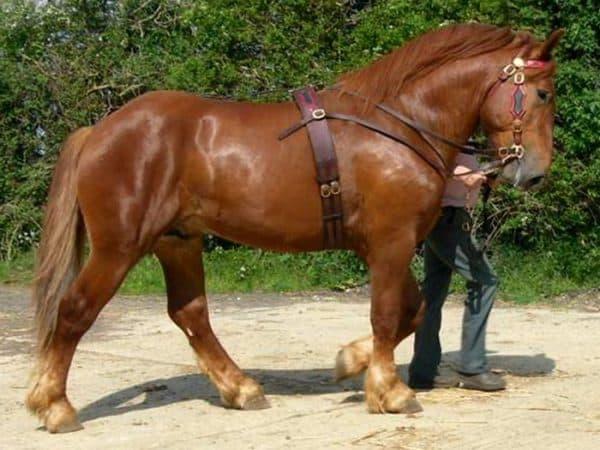 тяжеловозная лошадь Суффольский