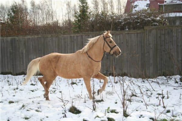 башкирская порода лошадей саврасовой масти