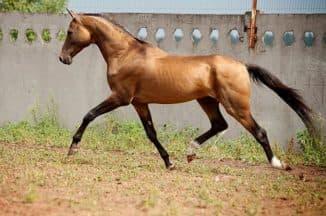 габариты Ахалтекинской породы лошадей
