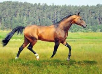 масть Ахалтекинской породы лошадей
