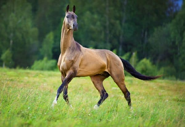 конь ахалтекинской породы