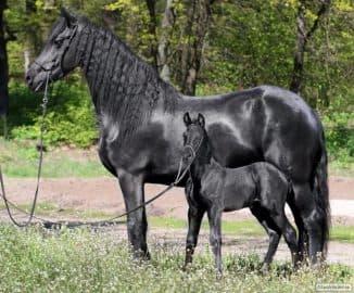 габари лошади породы фриз