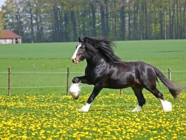 порода лошадей шайры