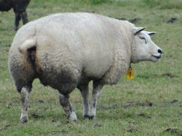 голландская порода овец тексель