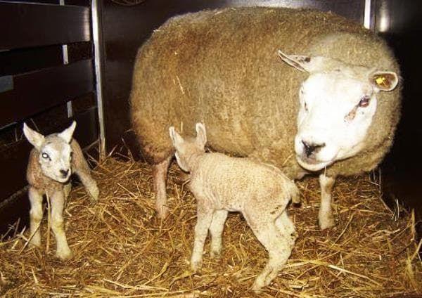окот французской породы овец тексель