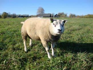 тексель порода овец в поле на лугу